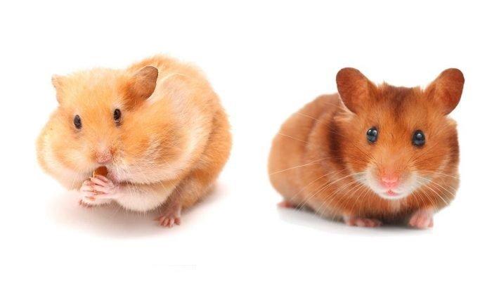 reproduccion hamster