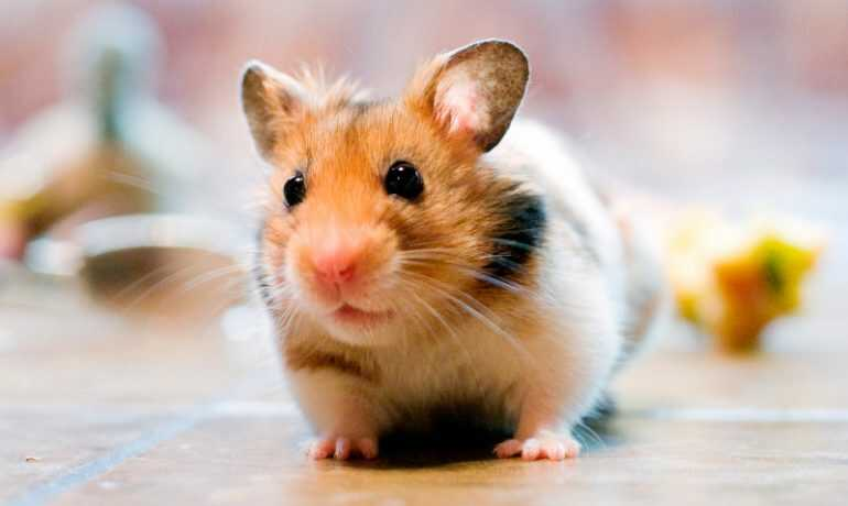 Hamster frio
