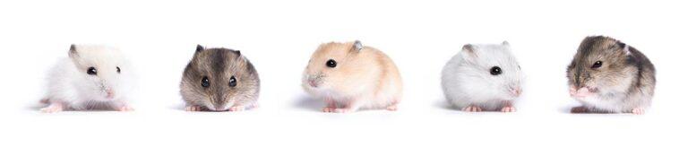 4 cosas importantes hamster