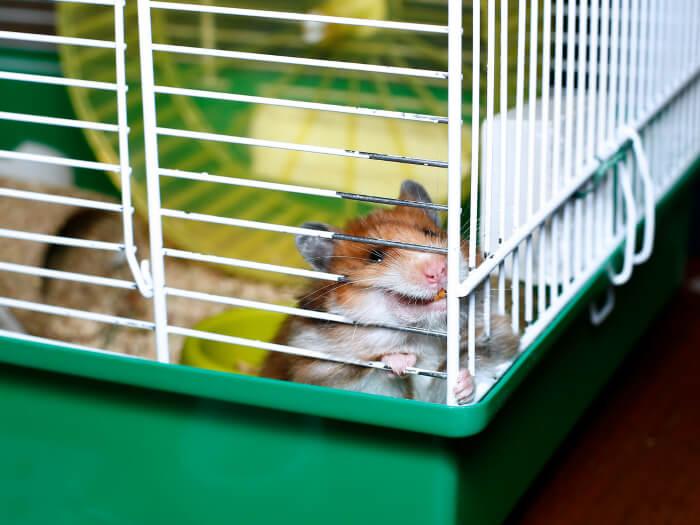 Estres hamsters