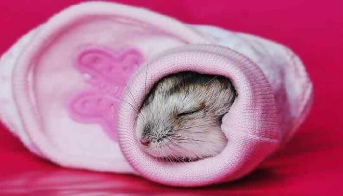 hamster duerme