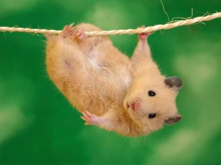 hamster-escapa