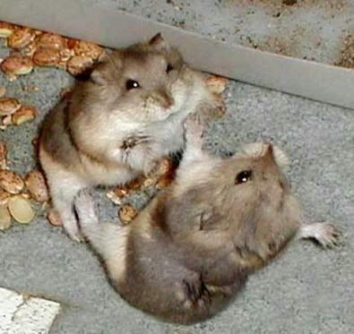 pelea hamster juntos