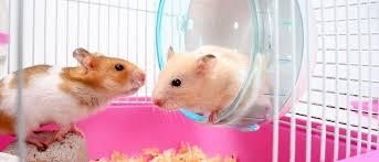 hamster rueda
