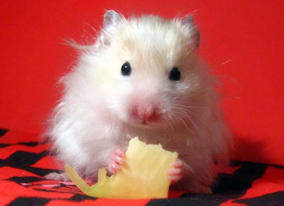 hamster queso