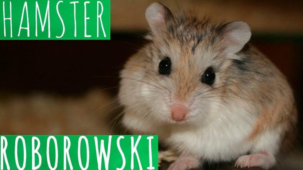 hamster roboroski